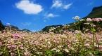 Địa điểm ngắm hoa Tam Giác Mạch tuyệt đẹp ở Hà Giang